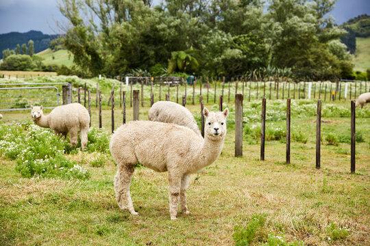 White Alpacas in Field