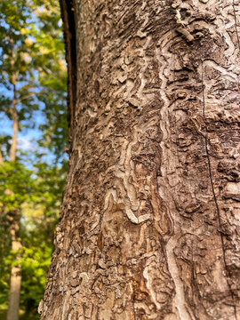 emerald ash borer, sinuous carvings dug by the larvae on a tree trunk