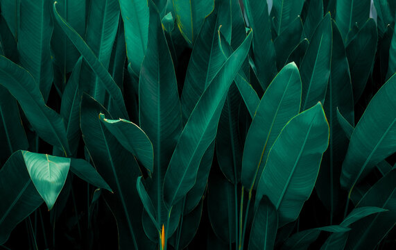 closeup nature view of tropical leaf background, dark tone concept