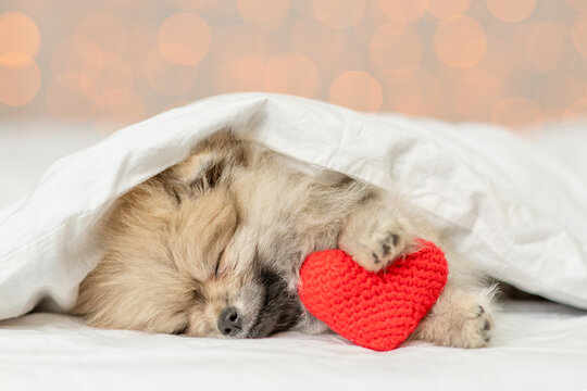 Cute Pomeranian spitz puppy sleeps on a bed at home with red heart on festive background. Valentines day concept