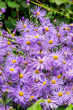 Aster x frikartii 'Monch' a lavender blue herbaceous perennial summer autumn flower plant commonly known as Michaelmas daisy, stock photo image