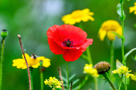 Red poppy (papaver rhoeas) a common wild garden flower plant used in armistice remembrance day celebrations and is often called a corn poppy