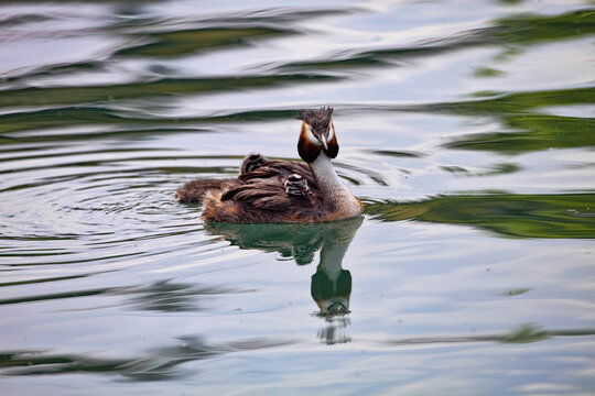 Great Crested Grebe, Podiceps cristatus, mother with cubs
