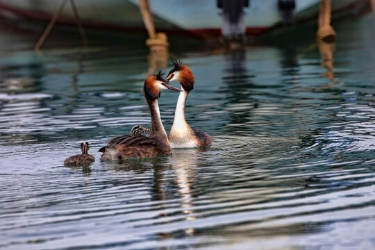 Great Crested Grebe, Podiceps cristatus, couple with cubs