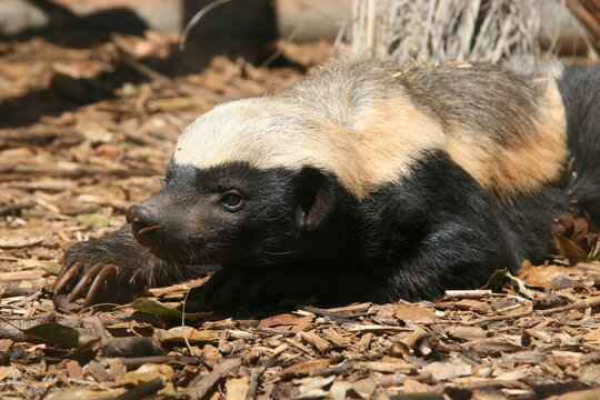 The honey badger, Mellivora capensis, is a rare beast in Africa