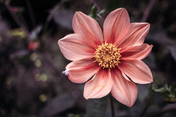 Closeup shot of a beautiful pink flower