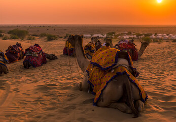 A view of camels resting under the setting sun in the Thar Desert, Rajasthan, India at sunset