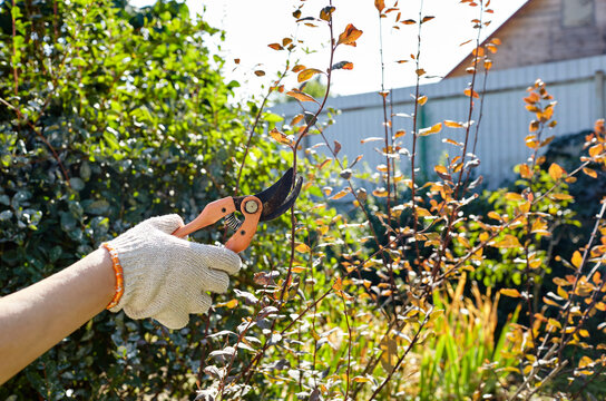 Woman gardening in backyard. Womans hands with secateurs cutting off wilted flowers on rose bush. Seasonal gardening, pruning plants with pruning shears in the garden