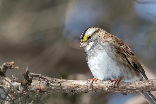 Close Up of a White-throated Sparrow Perched on a Tree Branch