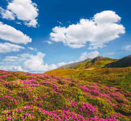 Wall Mural - Breathtaking pink rhododendron flowers in summer alpine valley.