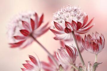 Obraz Różowe kwiaty-Jarzmianka - fototapety do salonu