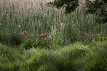 Dwie sarny uciekające wśród wysokich traw