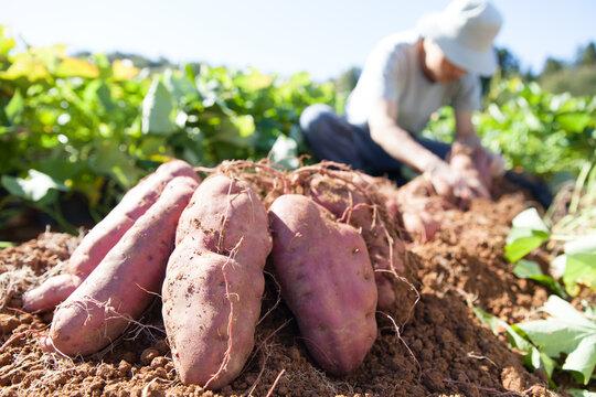 サツマイモを収穫する農家