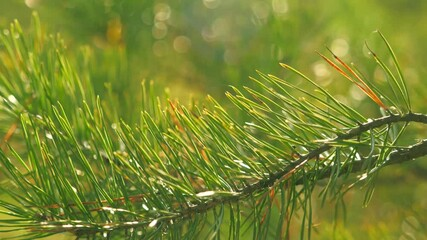 Wall Mural - Christmas pine tree in nature. Closeup, shallow DOF.