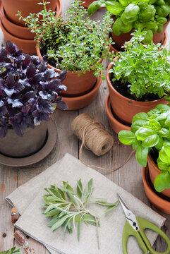 Fresh basil, sage, thyme herb in a pot