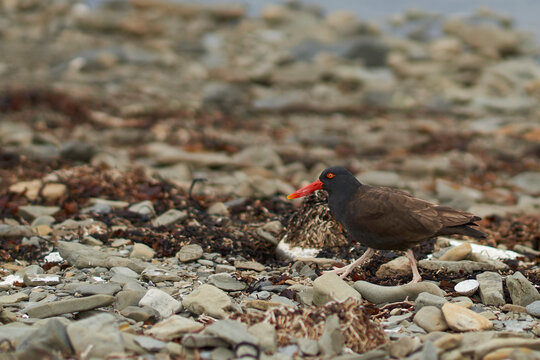 Blackish Oystercatcher (Haematopus ater) on a shingle beach on Bleaker Island in the Falkland Islands.