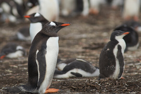 Colony of Gentoo Penguins (Pygoscelis papua) with chicks on Bleaker Island in the Falkland Islands