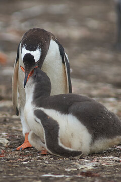 Gentoo Penguin (Pygoscelis papua) regurgitating food to feed its chick on Bleaker Island in the Falkland Islands