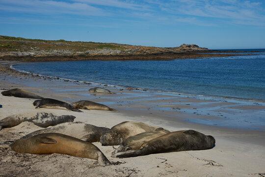 Southern Elephant Seals (Mirounga leonina) on the coast of Carcass Island in the Falkland Islands.