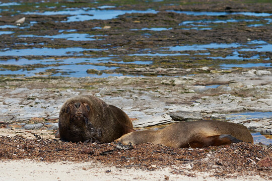 Pair of Southern Sea Lion (Otaria flavescens) on the coast of Carcass Island in the Falkland Islands.