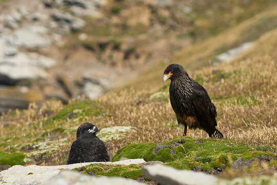 Striated Caracara (Phalcoboenus australis) with their nearly full grown chick on the cliffs of Carcass Island in the Falkland Islands.