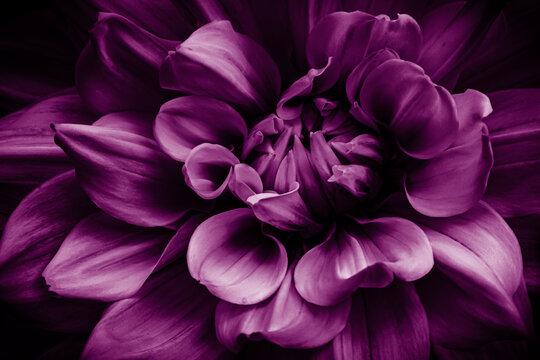 Makro Dahlie in lila