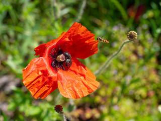 Obraz Pszczoła i czerwony mak - fototapety do salonu