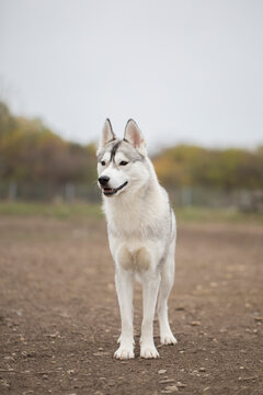 Beautiful shot of a husky dog outside