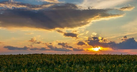 Fototapete - Summer landscape: beauty sunset over sunflowers field. Panoramic views. Time lapse.