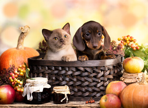 cat and dog and  pumpkin