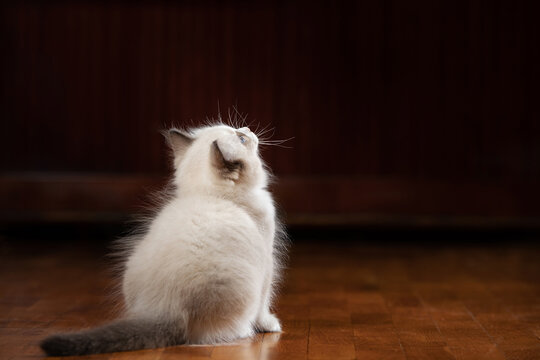 fluffy kitten plays. Bicolor Rag Doll Cat. on the floor on a brown at home