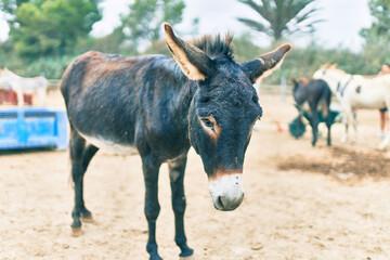 Adorable donkey walking at the farm.