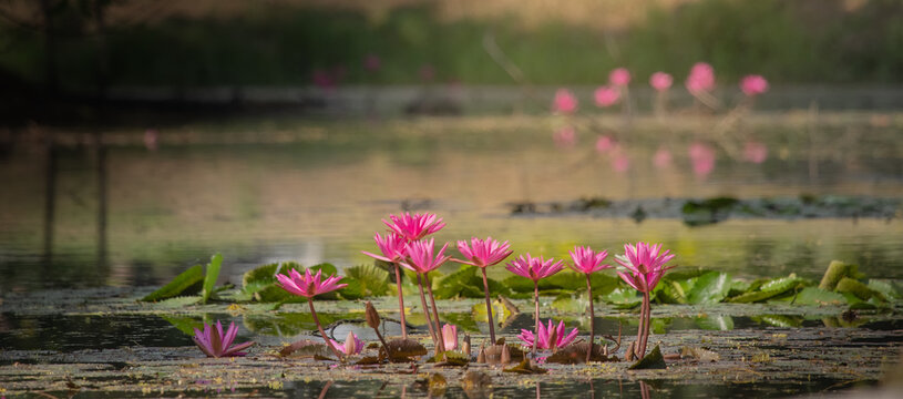 Pink lotus blooming in the river