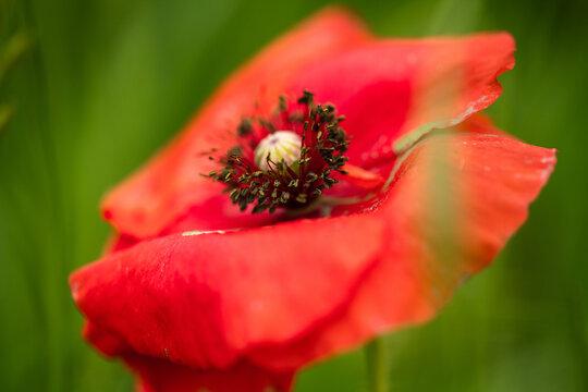 春の公園に咲くヒナゲシの花