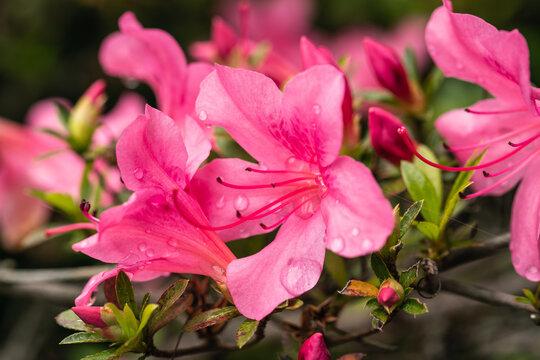 春の公園に咲くピンク色のつつじ