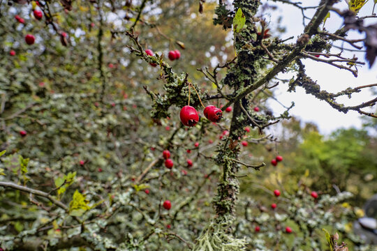 Red autumn fruits on bushes in a protected area in western Bohemia.