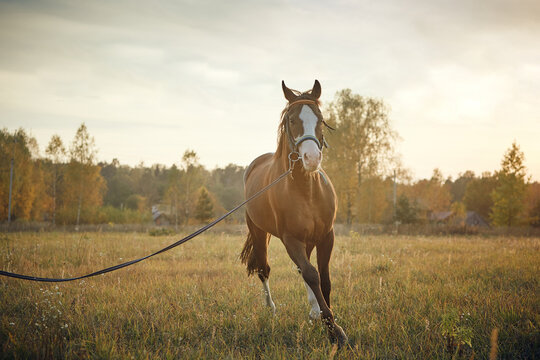 beautiful horse stud in the field