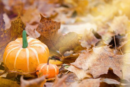 Two pumpkins in fallen leaves on which the sun`s rays fall.