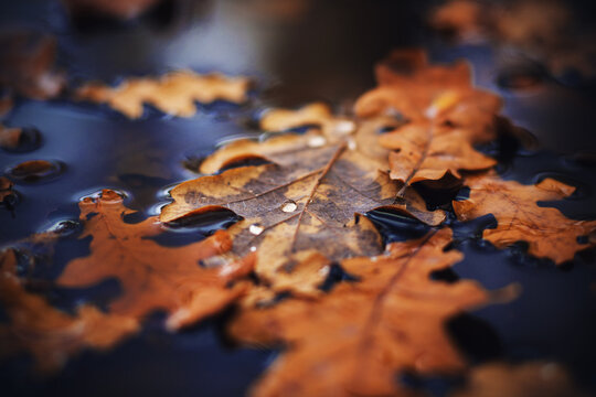 In the dark autumn time, dry leaves that have fallen from trees lie on the water surface of the puddle, and small drops of pure dew on them. November.