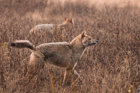 Male and female jackals in tall grass. Kanha, India.