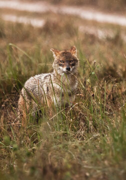 jackal in the tall grass. Kanha, India.