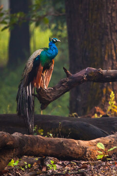 Wet peacock is sitting on a branch. Kanha Park, India. bird on the background of the forest.