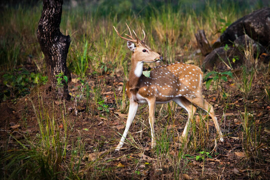 deer carefully looks around with a leaf in his mouth. Kanha, India. on the background of grass.