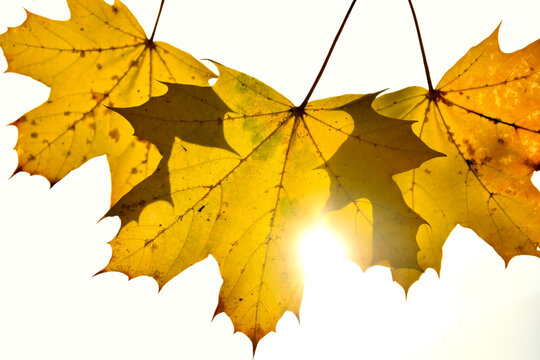 autumnal colored maple leaves in backlit