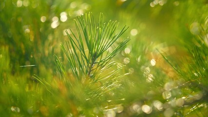 Wall Mural - Beautiful Christmas pine tree in nature. Closeup, shallow DOF.