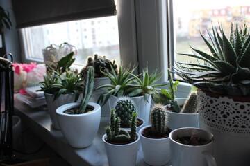 Fototapeta kaktus, kaktusy, kwiat, rośliny, okno, dom, kwiat, izba, zieleń, dekoracja, kwiatowy, kuchenne, natura, sukulenty, aleos, parapet, doniczka, doniczki, wystrój obraz
