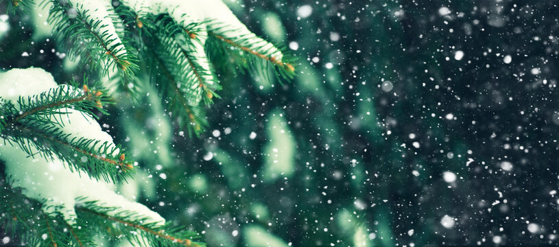 Winter Holiday Evergreen Christmas Tree Pine Branches Covered With Snow and Falling Snowflakes Texture. Festive Snowing Concept for Winter Holidays. Winter Horizontal Panoramic with Copy Space.