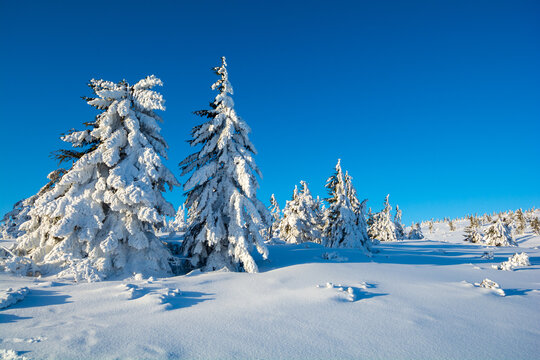 beautiful winter landscape with fresh snow and spruce on a sunny day