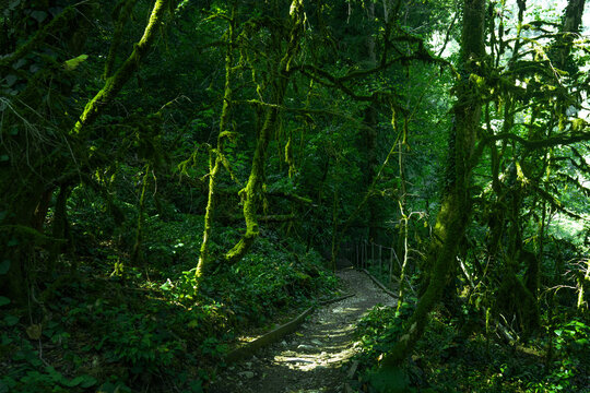Tourist path in green forest, subtropical wood. Yew-boxwood grove, Sochi National Park, Krasnodar Territory, Russia