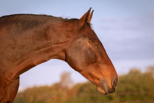 Fox brown horse
